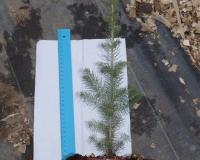 Ель канадская(сизая) - Picea glauca 3-х летка